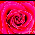 A Fuschia Pink Rose by Joan-Violet Stretch