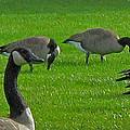 A Gaggle Of Geese by Ian  MacDonald