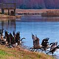 A Gaggle Of Geese by Scott Hervieux