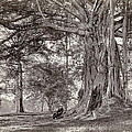 A Gentleman Sitting Beneath A Large Native Tree In British Ceylon by Scowen and Co