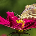 A Georgous Butterfly Macrophotography by Stwayne Keubrick