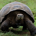 A Giant Tortoise Walks Along The Rim by Eric Rorer