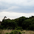 A Giraffe Giraffa Camelopardalis Among by Aaron Joel Santos