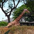 A Giraffe Rests In Honolulu by Michele Myers