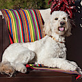 A Goldendoodle Lying On A Garden Bench by Zandria Muench Beraldo