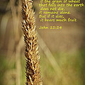 A Grain Of Wheat by Tikvah's Hope