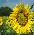 A Grand Sunflower by Terry Rowe