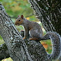 A Gray Squirrel Pose  by Neal Eslinger