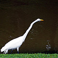 A Great Egret On Hilton Head Island by Kim Pate
