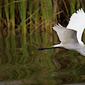 A Great Egret Skims The Surface by Michael Melford