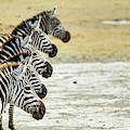 A Grevys Zebra In Ngorongoro Crater by Jake Norton