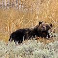 A Grizzily On A Buffalo Carcass by Jeff Swan