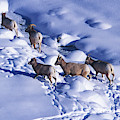 A Group Of Bighorn Sheep Ovis by Todd Korol