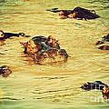 A Group Of Hippos In A River. Tanzania by Michal Bednarek