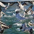 A Group Of Pelicans by Cynthia Guinn