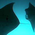 A Group Of Silhouetted Manta Rays by Heather Perry