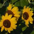 A Group Of Sunflowers by Deborah Coe