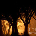 A Grove Of Trees Surrounded By Fog And Golden Light by Jo Ann Tomaselli
