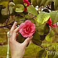 A Hand And A Camellia by Dr Mador