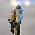 A Hawk On A Fence Post  by Jeff Swan