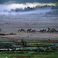 A Heard Of Elk Graze In A Misty Meadow by Keith Ladzinski