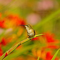 A Humming Bird Perched by Jeff Swan