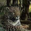 A Jaguar's Gaze by Mickey At Rawshutterbug