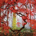A Japanese Maple Tree by Richard Felber