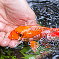 A Koi In The Hand by Priya Ghose