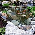 A Koi Pond For Outdoor Garden by Lingfai Leung