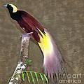 A Large Bird Of Paradise by Sergey Lukashin