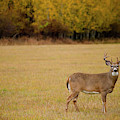A Large Whitetail Buck Stairs by Noah Couser