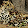 A Leopard Cub With Her Mother by Beverly Joubert