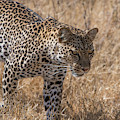 A Leopard, Panthera Pardus by Tom Murphy