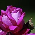 A Light Blue Rose  by Jeff Swan