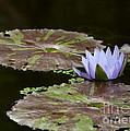 A Little Lavendar Water Lily by Sabrina L Ryan