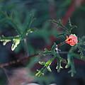 A Little Peach Flower Bud by Phyllis Bradd
