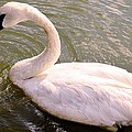 A Lone Swan Named Gracie by Maria Urso
