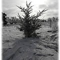 A Lonely Little Prairie Ceder by Sheri Lauren