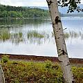 A Maine White Birch Pairing by Lena Hatch