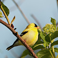 A Male American Goldfinch  Carduelis by Robert L. Potts