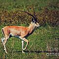A Male Impala In Ngorongoro Crater. Tanzania by Michal Bednarek