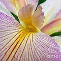 Iris  Metamorphosis Of The Iris Spring Equinox  by Michael Hoard