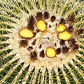 A Mexican Golden Barrel Cactus With Blossoms by Tom Janca