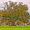 A Mighty Oak by Steve Harrington