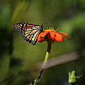A Monarch Butterfly 1 by Xueling Zou