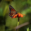 A Monarch Butterfly 2 by Xueling Zou