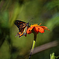 A Monarch Butterfly 3 by Xueling Zou
