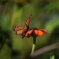 A Monarch Butterfly 4 by Xueling Zou