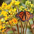 A Monarch Butterfly by Robert  McKinstry